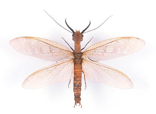 Alderflies, Fishflies & Dobsonflies