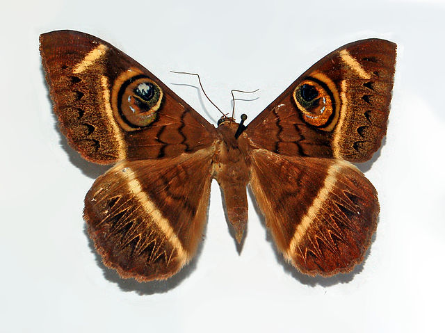 Cyligramma latona