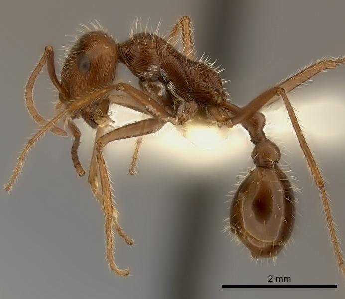 Ocymyrmex barbiger