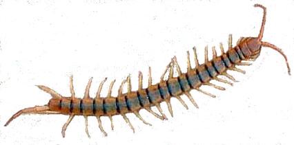 Centipedes Abc Pest Control