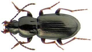 Pterostichus brevicornis
