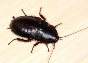 cockroach_wood