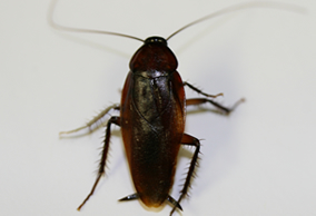 smoky_brown_cockroach_adult